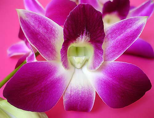 orchideya