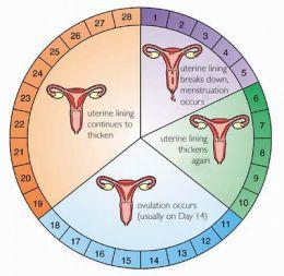Регулируем менструальный цикл