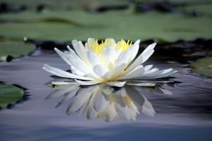 Flickr-Lotus-LadyDragonflyCC-300x200