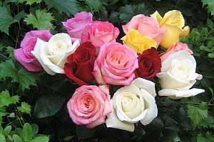 Где купить хорошие саженцы роз?
